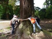 行在所あとの杉の大木