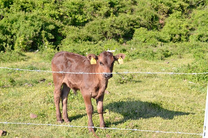 隠岐牛の牧場もある