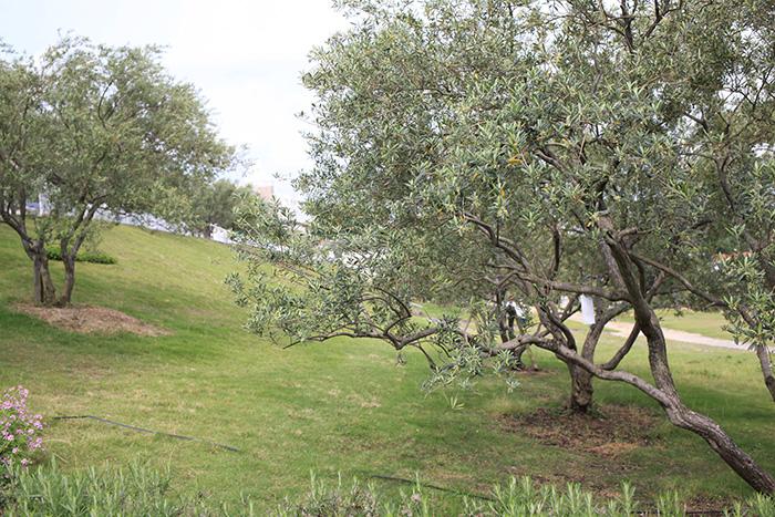 オリーブの並木