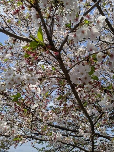 今年2月20日の桜。気づいたらもう葉桜でした。